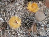echinopsis  1 - tamaño pequeño