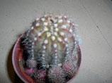 126 echinopsis calochlora  bolita cactus  de 2 a 3cm