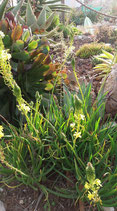 bulbine frutescens  tallos de 8cm a 10cm