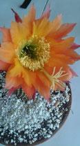 35 trichocereus super apricot - 6cm taco