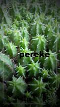 Euphorbia Submammillaris