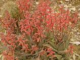 aloe   variegata - punteada