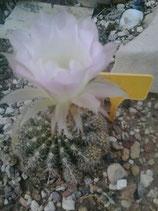 echinopsis 2  blanco roseado   - bolitas de 2 a 5 cm