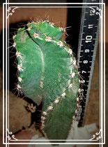 Cereus forbesii spiralis   de altura 12 cm