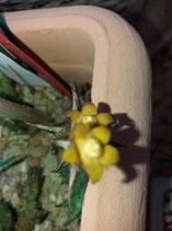 Orbea schweinfurthii - angalluma scweinfurthii   - TALLO  6CM