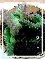 Orbea variegata cristata - tallo 6cm con raiz -  super nueva