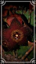 orbea melanacantha