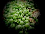 senecio rowleyanus -  tallo 8cm     La Planta rosario es una planta colgante