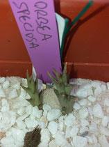 Orbea speciosa     - tallo