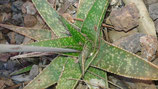 Gasteria bicolor x spotted star hijuelo