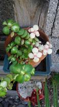 Portulaca afra medio picta variegated    -tallo de planta madre