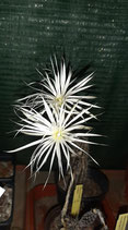 Setiechinopsis mirabilis   - FLORACION BLANCA NOCTURNA