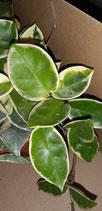 Hoya carnosa marginata variegated