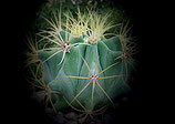 ferocactus glausescens  de 8 a 10cm