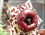 Huernia plowesii   -tallo 5cm