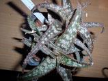 aloe bronze star  x    unidad