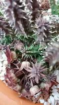 Huernia macrocarpa v. Ceresina    - 3 tallos