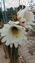trichocereus atacamensis    parecido    Cardón (Echinopsis atacamensis). -taco 12cm