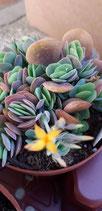 ·  Kalanchoe rotundifolia -tallo