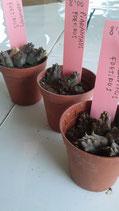 Piaranthus foetidus  - 1   tallo 3cm
