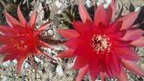 9   echinopsis hybride  rojo