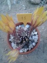 15 echinopsis hybride  bolita de 3cm naranja -amarillo