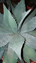 agave parryi couesii   madre  25cm