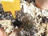 """49 echinopsis hibrido  """"pick  ass"""" rheingold242"""