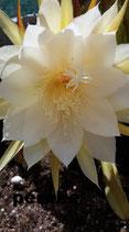 epiphyllum    tallo -   blanco borde externo  amarillo