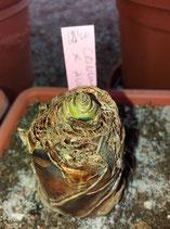 Crinum x augustum  -  bulbo 6cm