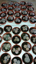 Lithops maceta - 5,5