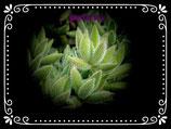 Crassula mesembryanthemoides