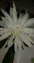 Epiphyllum pumillum - tallo flor blanco perla