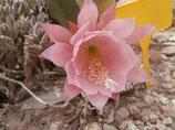 epiphyllum  rosa - esqueje