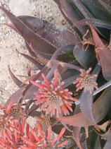 aloe aloe striata x maculata   - hanburyana - hijuelo 3 a 5cm