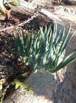senecio ficoides  -tallo de 10cm    enraiza perfectamente se hace arbustivo