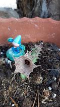 Huernia concinna white tallo