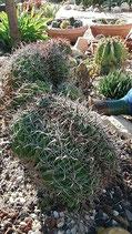 Ferocactus peninsulae cristata    3cabezas monstruosa de 40cm -rocalla delante casa