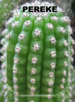 Trichocereus purpureopilosus . Echinopsis purpureopilosa -  TACO 10CM