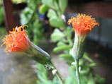 Kleinia petraea (Senecio jacobsenii)  tallo