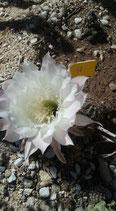 10 echinopsis hibrido  - blanco perla