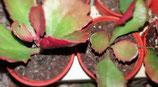 Kalanchoe longiflora v. Coccinea  -  kalanchoe sexagularis   5cmde  tallo