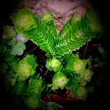 crassula green pagoda -tallo de 7cm