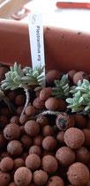 Plectranthus argentifolius