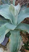 Agave gypsophIla marginata  rayas special   variegated    - striata