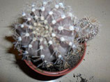 124 echinopsis fischeri . bolita de 2 a 3 cm