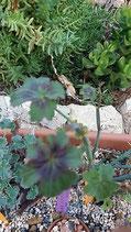 Pelargonium tretragonum