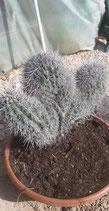 Pachycereus pringlei tricepala cristata  de 50cm