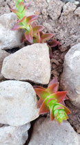 Crassula camp fire  de 7cm