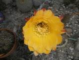 130 trichocereus hibrido amarillo  - taco 7cm